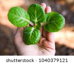 Bok Choy Young Seedling In Han...