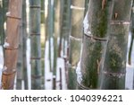 Small photo of Bamboo shoots and stalks of Kyoto's famous tourist attraction, the Arashiyama Bamboo Forest, with small amounts of snow accumulated on it with snow-covered ground.