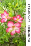 Small photo of Adenium (Adenium) is the name of a species of colorful flowers. The tree is easy to grow. Resistant to drought The Desert Rose (Desert Rose)