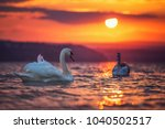 Swans In The Sea And Beautiful...