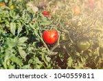 omatoes grow in the garden in a ... | Shutterstock . vector #1040559811