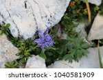 purple blooming mountain flower | Shutterstock . vector #1040581909
