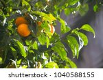 tangerines in the sun | Shutterstock . vector #1040588155