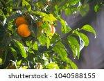 tangerines in the sun | Shutterstock . vector #1040588155