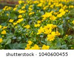 Spring background with yellow   Blooming Caltha palustris, known as marsh-marigold and kingcup.  Flowering gold colour plants  in Early Spring by the lake
