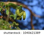 green cones on a spruce tree ... | Shutterstock . vector #1040621389