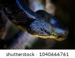 Small photo of Madagascar Boa - Acrantophis madagascariensis, the largest snake of Madagascar forests. Endemic snake.