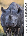 Portrait Of A Black Rhino In...