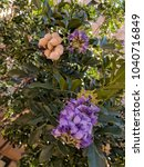 Small photo of Summer heat-loving Texas Mountain Laurel flowering at the end of Winter and beginning of Spring in Arizona