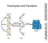 dna replication  protein... | Shutterstock .eps vector #1040732464
