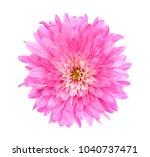 single pink mum flower isolated ... | Shutterstock . vector #1040737471