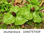 Small photo of Deep red flowers and spotted green leaves of toadshade trillium in a spring forest
