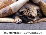 Cute Small Dog Breed Pug...
