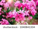 blooming pink oleander flowers... | Shutterstock . vector #1040841334