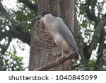 a black crowned heron standing... | Shutterstock . vector #1040845099