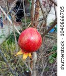 Growing Red Pomegranate