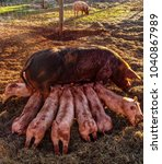 fertile sow lying on straw and... | Shutterstock . vector #1040867989