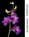 Beautiful purple dendrobium orchids isolated on black background. - stock photo