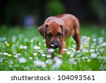 Stock photo cute rhodesian ridgeback puppy in a park 104093561