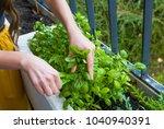 young women cuts fresh herbs...   Shutterstock . vector #1040940391