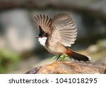 a red whiskered bulbul ... | Shutterstock . vector #1041018295