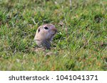 prairie dog  cynomys... | Shutterstock . vector #1041041371