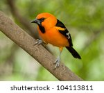 Small photo of Photograph of a brilliantly colored male Altamira Oriole in a lush south Texas woodland.