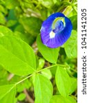 Small photo of Clitoria ternatea has been ascribed properties affecting female libido due to its similar appearance to the female reproductive organ