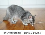 Stock photo gray domestic short hair cat relaxing and playing at home 1041214267