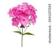 pink phlox isolated on white... | Shutterstock . vector #1041257035