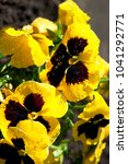 Small photo of Yellow pansy plants, pansies flowers, spring