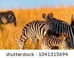 plains zebra mare watches while ... | Shutterstock . vector #1041315694