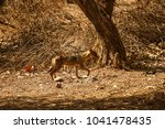 young coyote in the sunlight in ... | Shutterstock . vector #1041478435