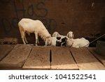 white goats family standing... | Shutterstock . vector #1041522541