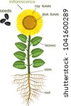 parts of sunflower plant.... | Shutterstock .eps vector #1041600289