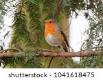 Small photo of Close up , side profile, of a Robin perched in a fir tree looking to the left.
