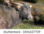 Small photo of Anoa close-up portrait