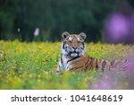siberian tiger  panthera tigris ... | Shutterstock . vector #1041648619