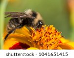 bumblebee gathers nectar on a... | Shutterstock . vector #1041651415
