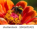 bumblebee gathers nectar on a... | Shutterstock . vector #1041651421