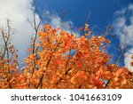 maple leaf. maple tree with... | Shutterstock . vector #1041663109