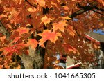 maple leaf. maple tree with... | Shutterstock . vector #1041665305