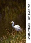 great egret bird ardea alba...   Shutterstock . vector #1041686755