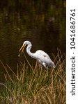great egret bird ardea alba...   Shutterstock . vector #1041686761