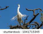 the great egret in breeding... | Shutterstock . vector #1041715345