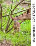Small photo of Baby nyala being groomed by its mother, Swaziland