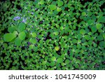 pistia  water cabbage  and...   Shutterstock . vector #1041745009