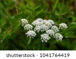 cicuta virosa  the cowbane or... | Shutterstock . vector #1041764419