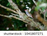 red browed finch on a tree... | Shutterstock . vector #1041807271