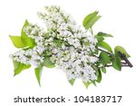 Isolated White Lilac Branches...